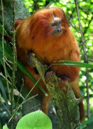 Golden Lion Tamarin at BAMZ