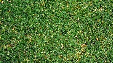 Common Bermuda Grass
